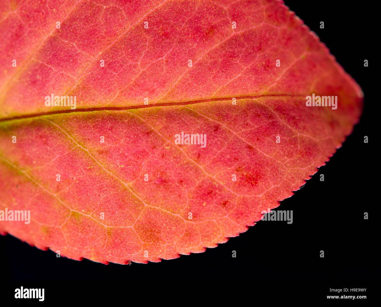 Schließen Sie detaillierte Makro von einem bunten Herbst Blatt zeigt die Textur, Venen und Muster. Stockfoto