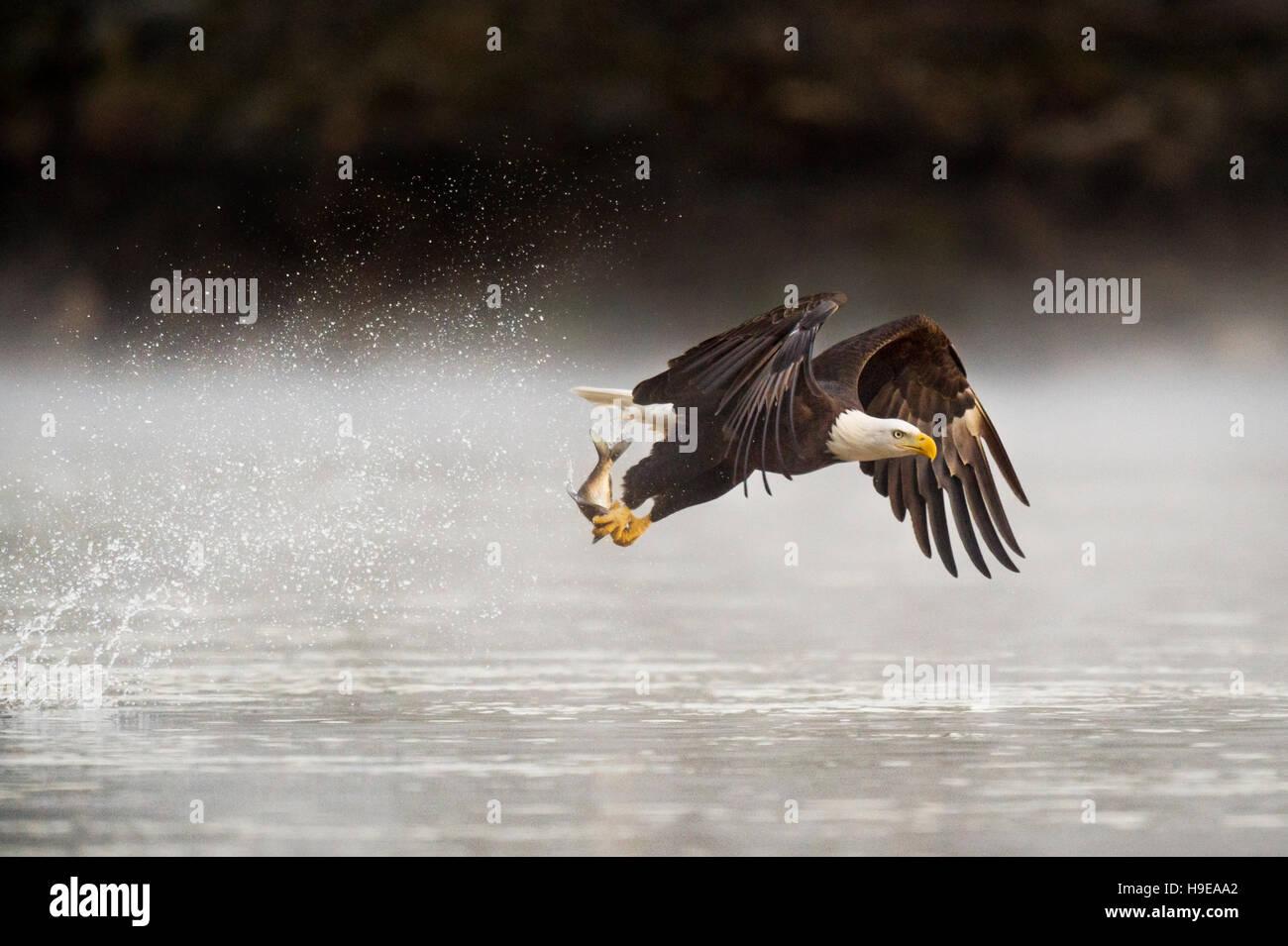 Ein Erwachsener Weißkopfseeadler packt einen Fisch aus dem Wasser früh ein Morgen mit einem big Splash Stockbild