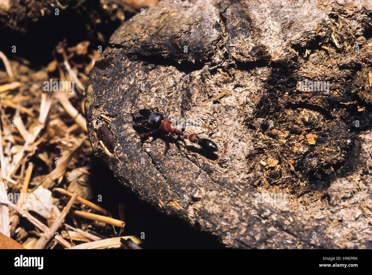 Ant-Mimic Spinne. Karnataka, Indien. Stockbild