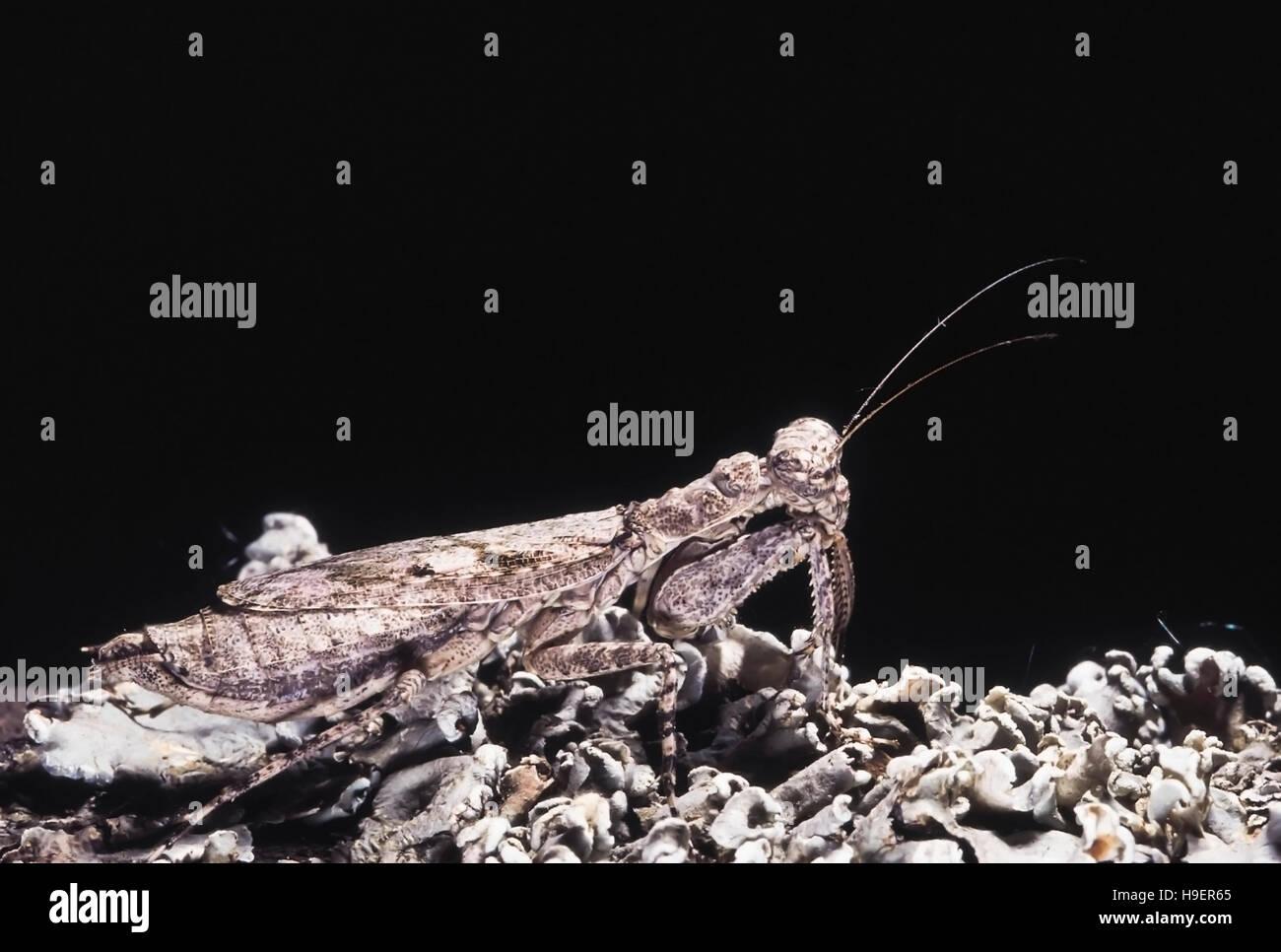 Humbertiella Indica. Selten. Praying Mantis perfekt getarnt auf Flechten. Maharashtra, Indien. Stockbild
