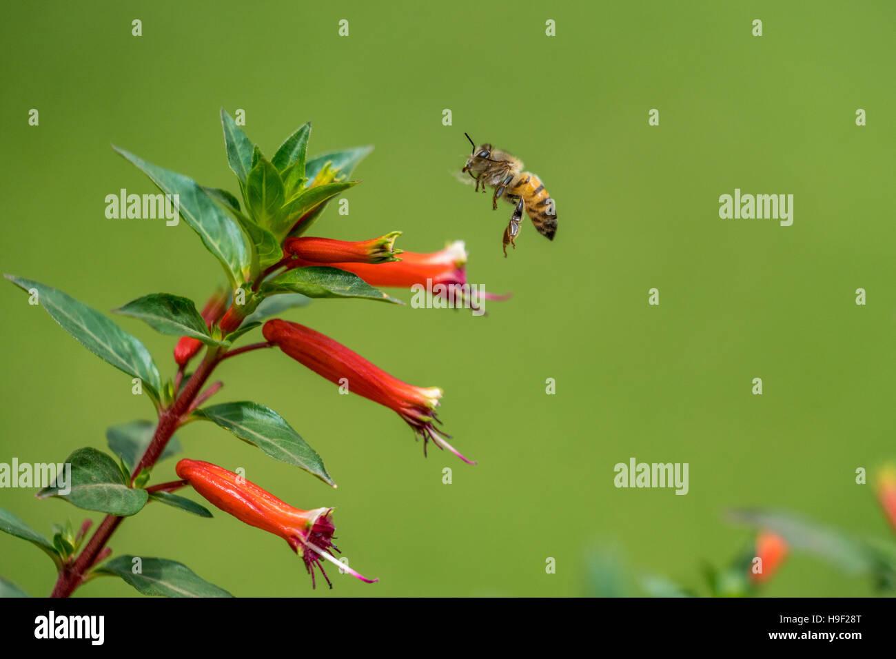 Eine Biene fliegt in der Luft Stockbild