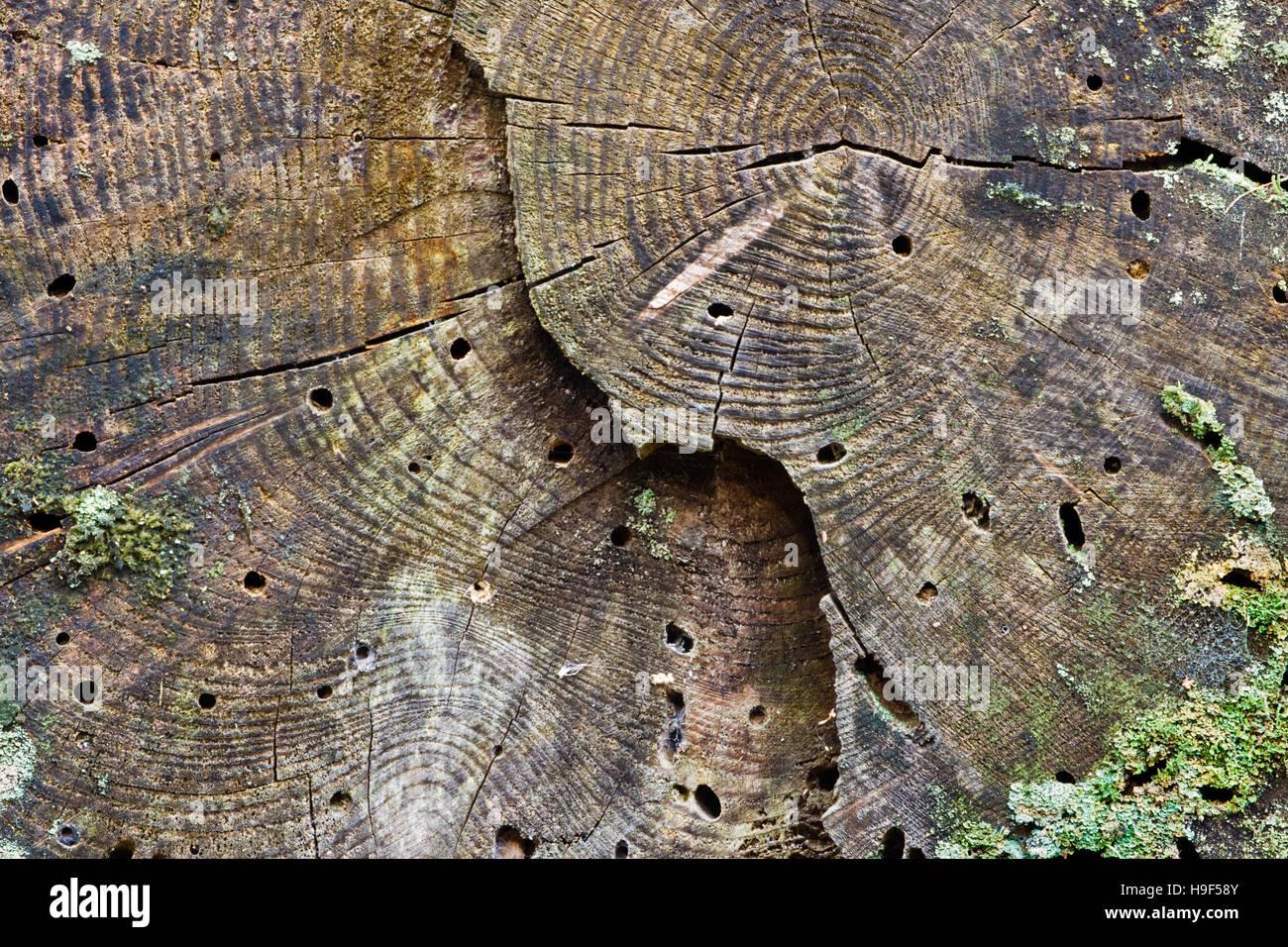 woodworm stockfotos woodworm bilder alamy. Black Bedroom Furniture Sets. Home Design Ideas