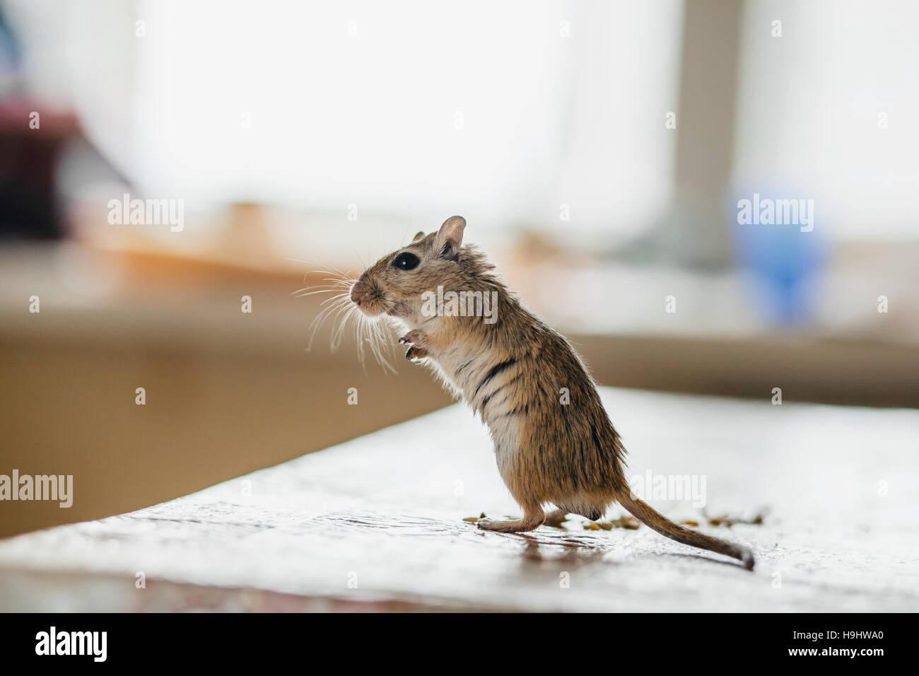 Wüstenrennmaus Maus stehend auf dem Küchentisch Stockbild