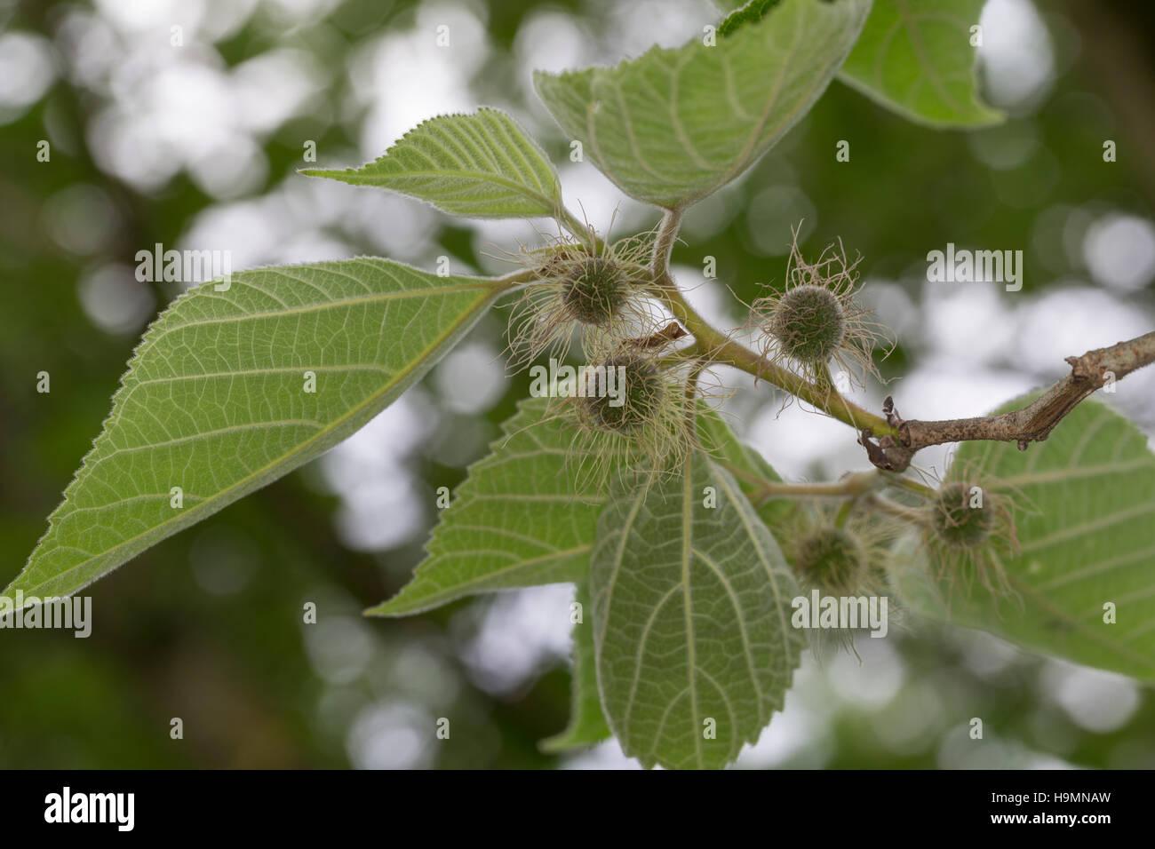 Papiermaulbeerbaum, Papier-Maulbeerbaum, Papiermaulbeere Gartenlandschaft Papierbaum, Broussonetia Papyrifera, Morus Stockbild