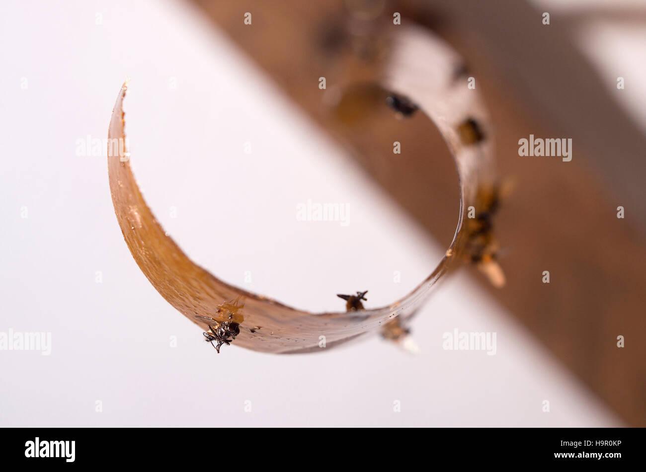 Dead Flies Stuck Sticky Fly Stockfotos & Dead Flies Stuck Sticky Fly ...