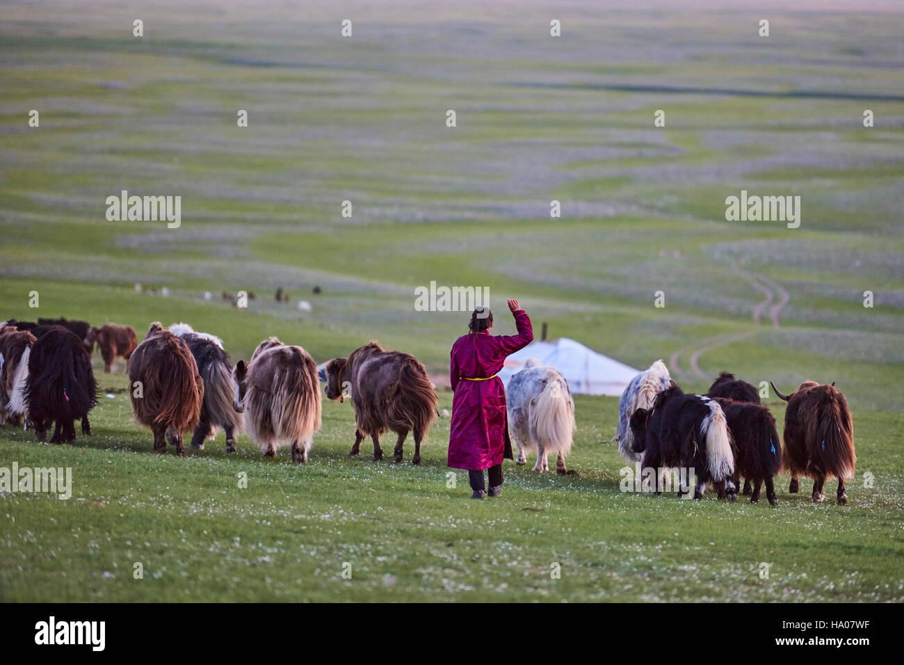 Zentralasien unabhängigen Mongolei Asien Reise Reisen Reiseziel Welt Kultur Wort Ziel Jak Melken Veau Kalbfleisch Stockbild