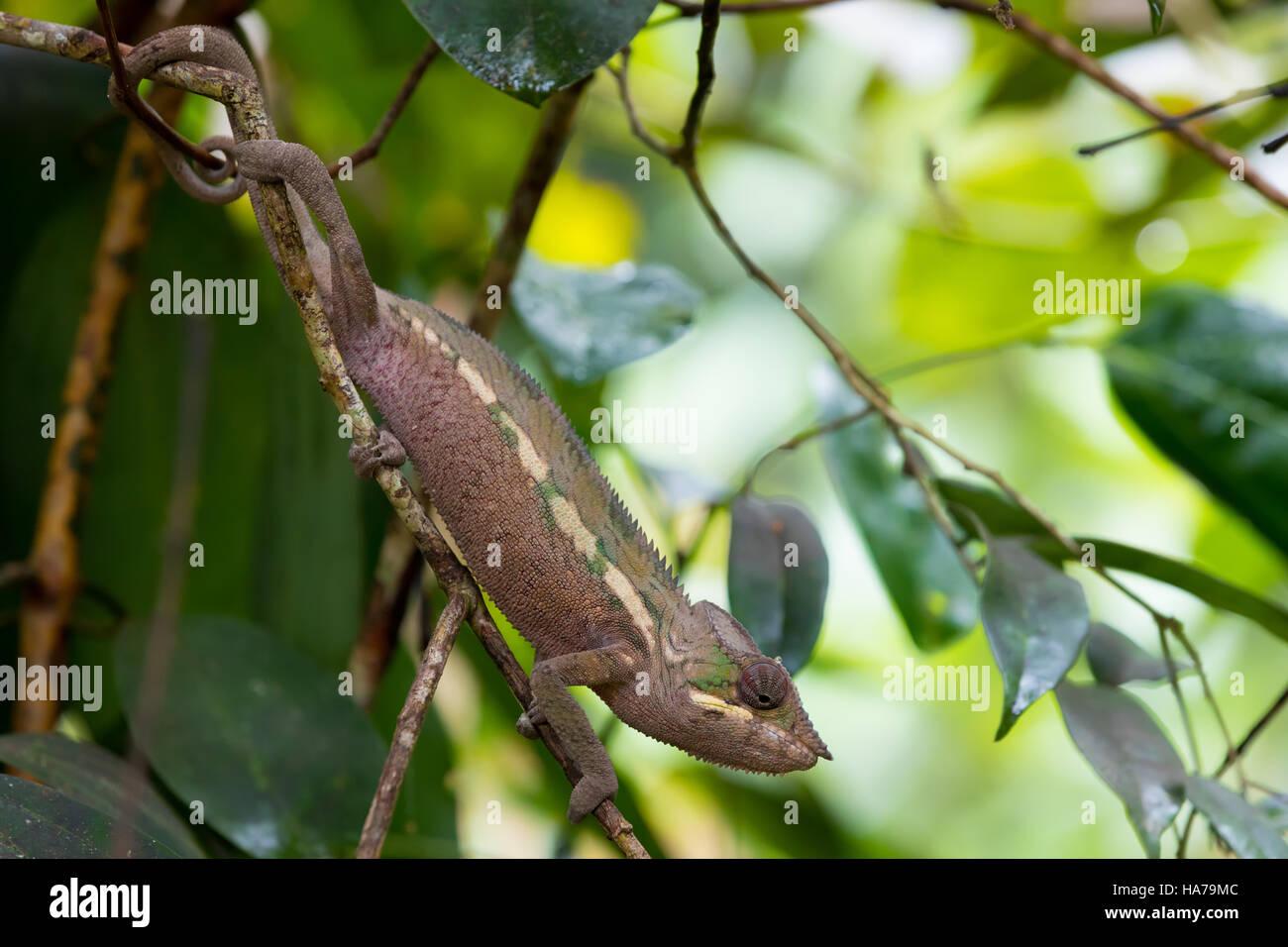 Pantherchamäleon (Furcifer Pardalis) auf kleinen Zweig im Regenwald an der Masoala national Park Forest, Provinz Stockbild