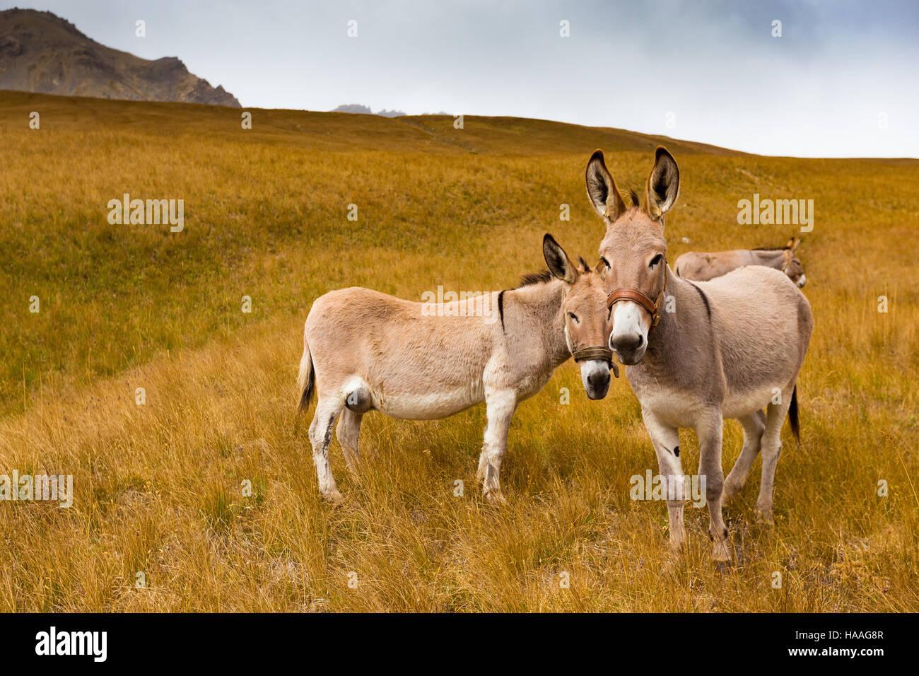 Esel, alpine Rasen, Col des Thures. Vallée Etroite. Stockbild