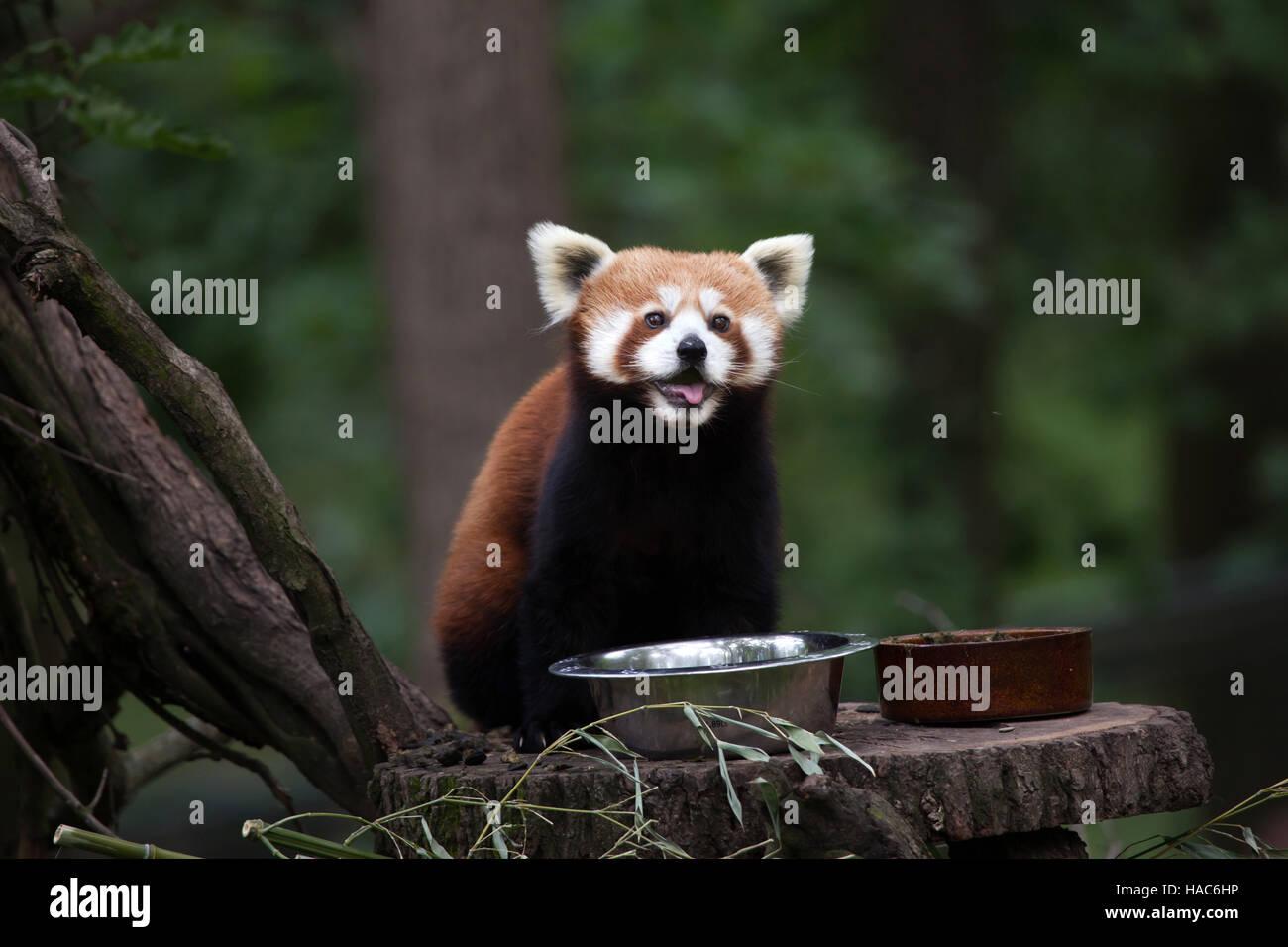 Westliche Katzenbär (Ailurus Fulgens Fulgens), auch bekannt als der nepalesische rote Panda in Brno Zoo in Stockbild
