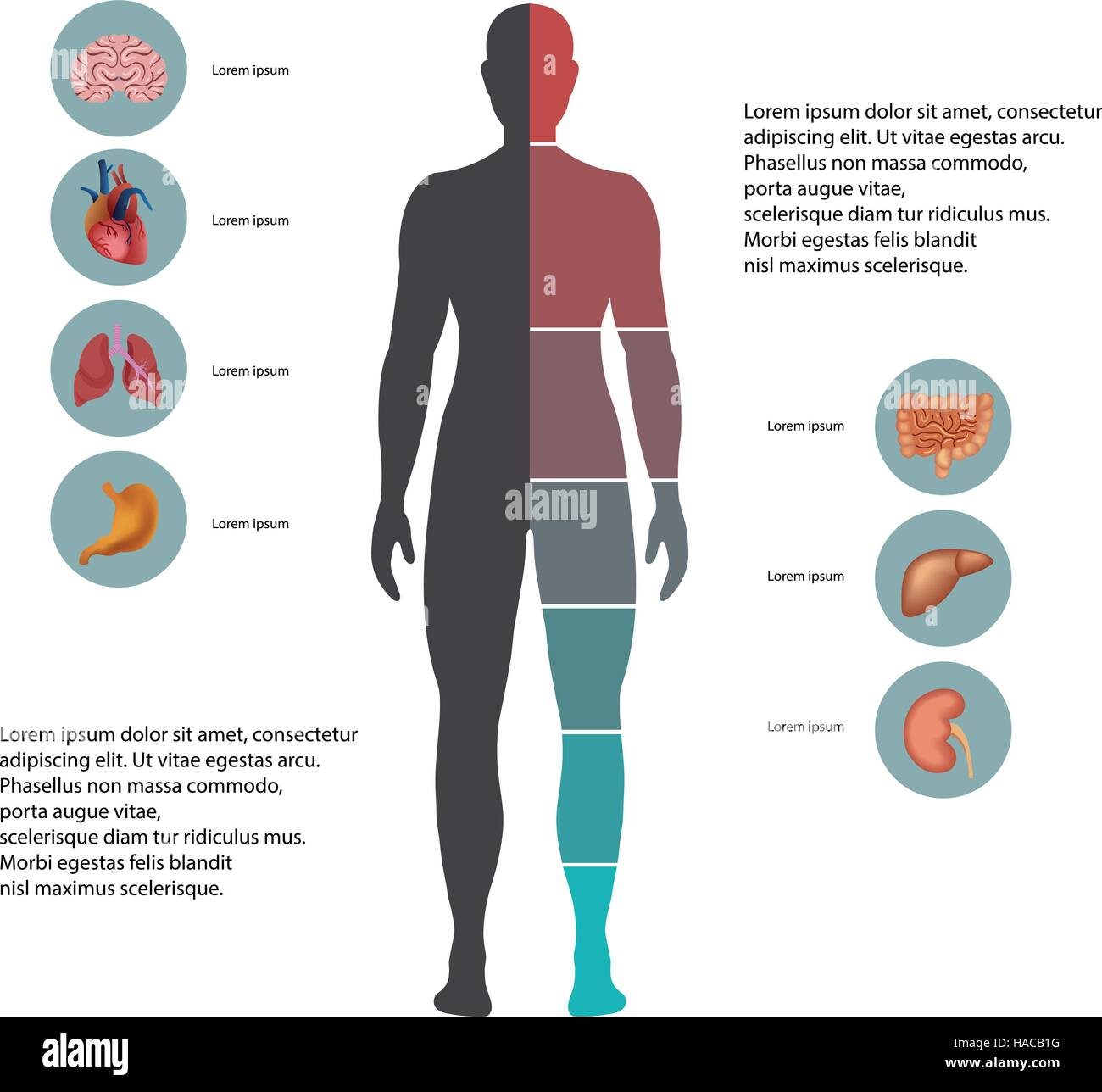 Human Organs Infographic Stockfotos & Human Organs Infographic ...