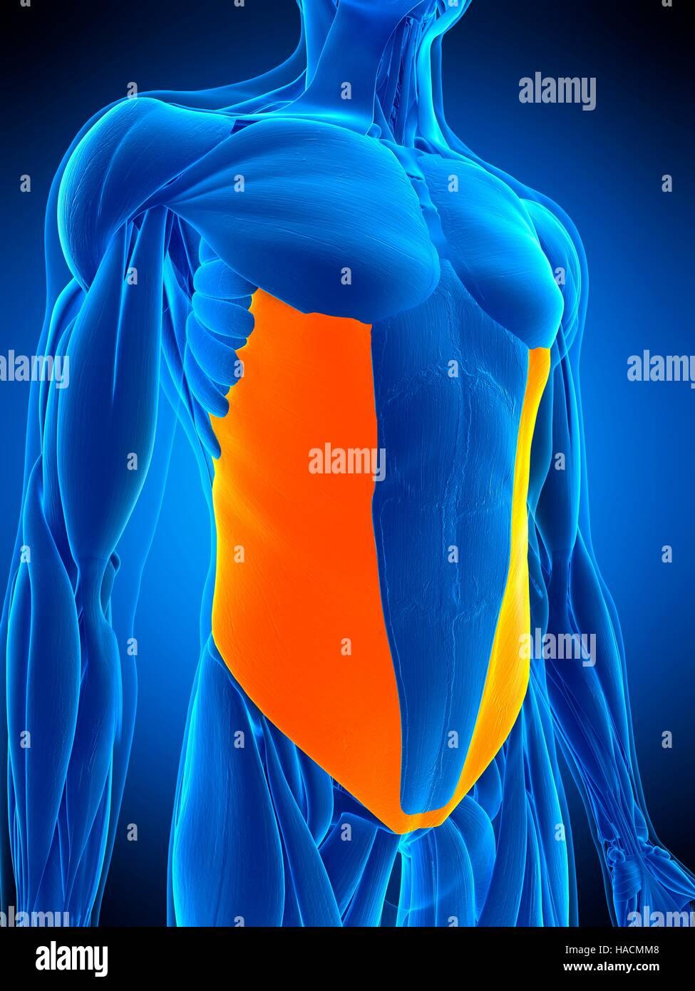 Oblique Muscle Stockfotos & Oblique Muscle Bilder - Alamy