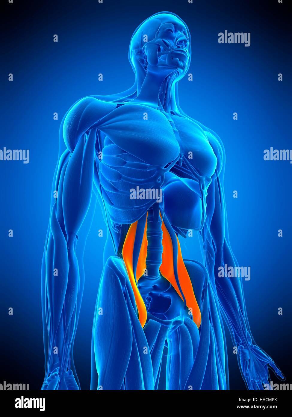 Illustration der großen Psoas-Muskel Stockfoto, Bild: 126898875 - Alamy