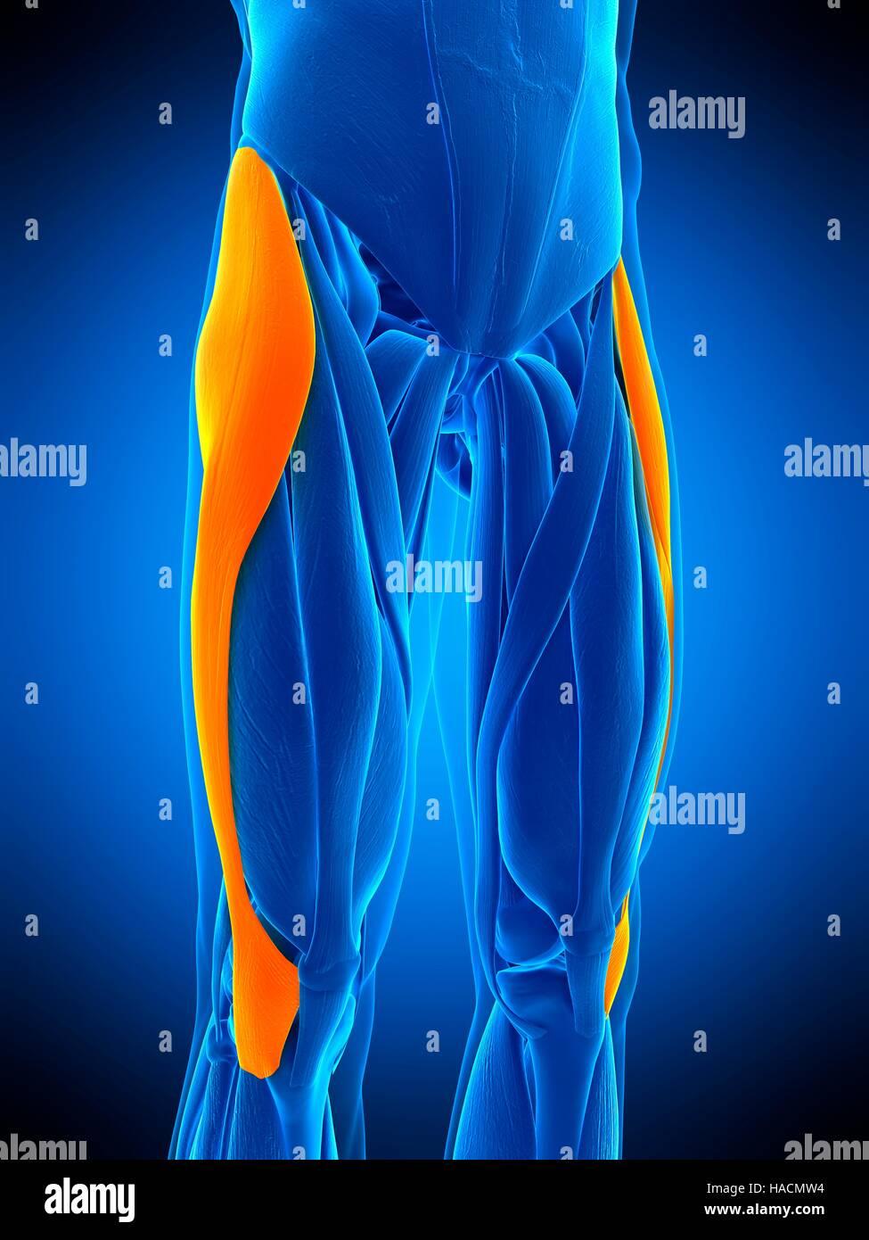 Illustration der Tensor Fascia Lata Muskel Stockfoto, Bild ...