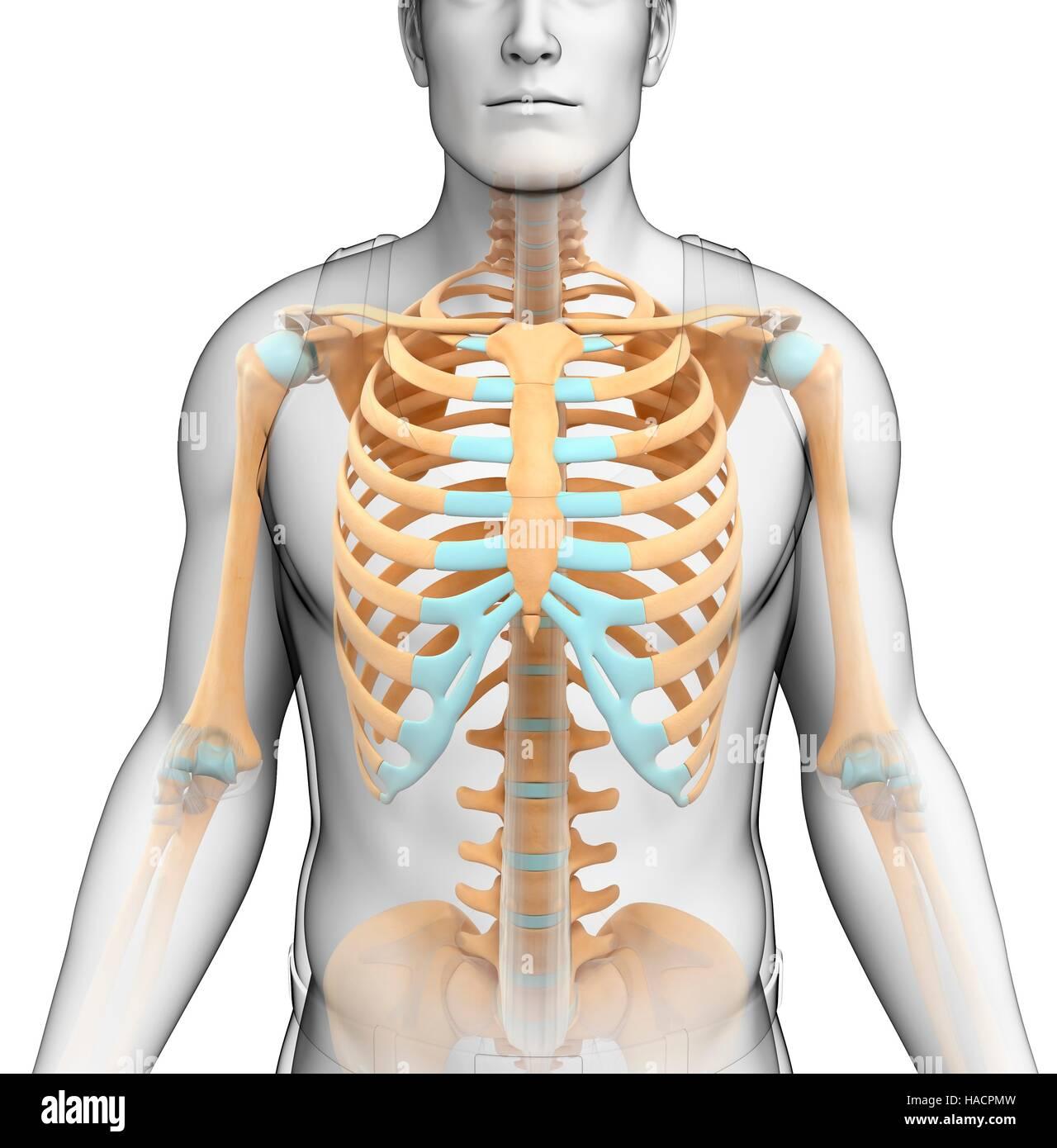 Großzügig Organe Des Skelettsystems Ideen - Menschliche Anatomie ...