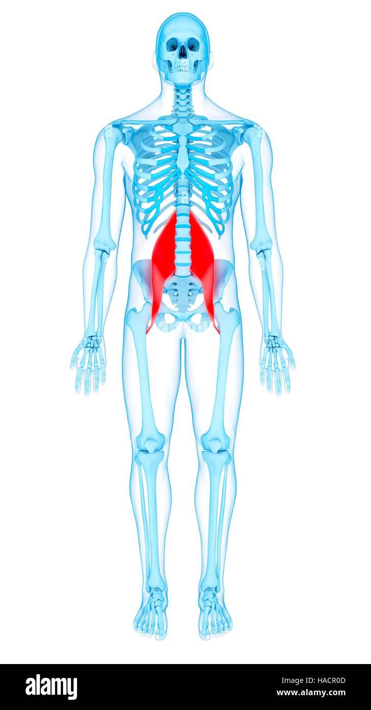 Darstellung der wichtigsten Muskeln Psoas Stockfoto, Bild: 126900605 ...