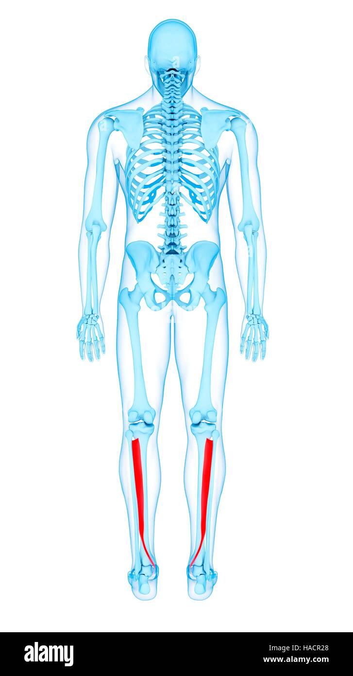 Abbildung der Tibialis posterior Muskeln Stockfoto, Bild: 126900656 ...