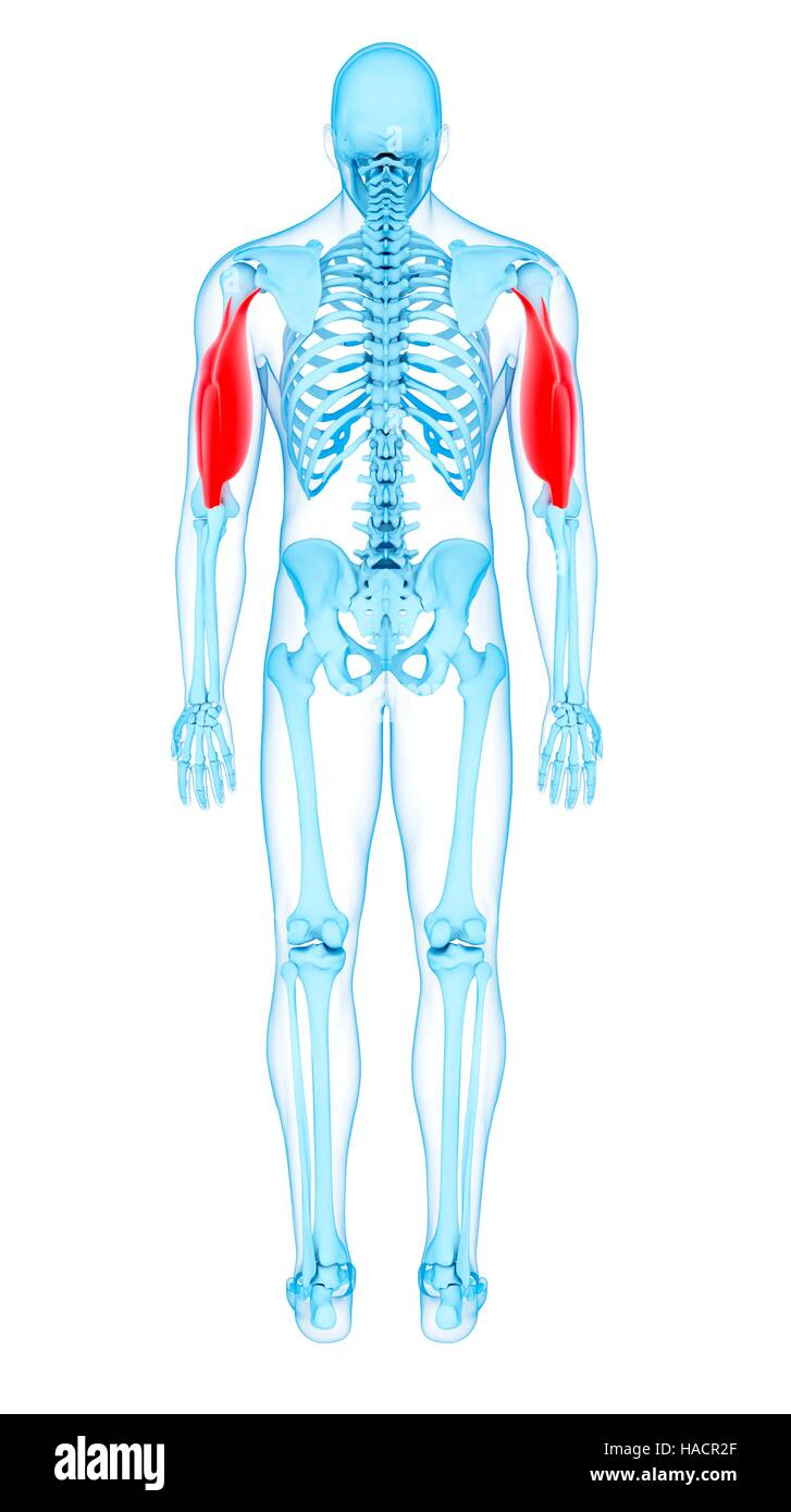 Abbildung der Trizeps-Muskulatur Stockfoto, Bild: 126900663 - Alamy