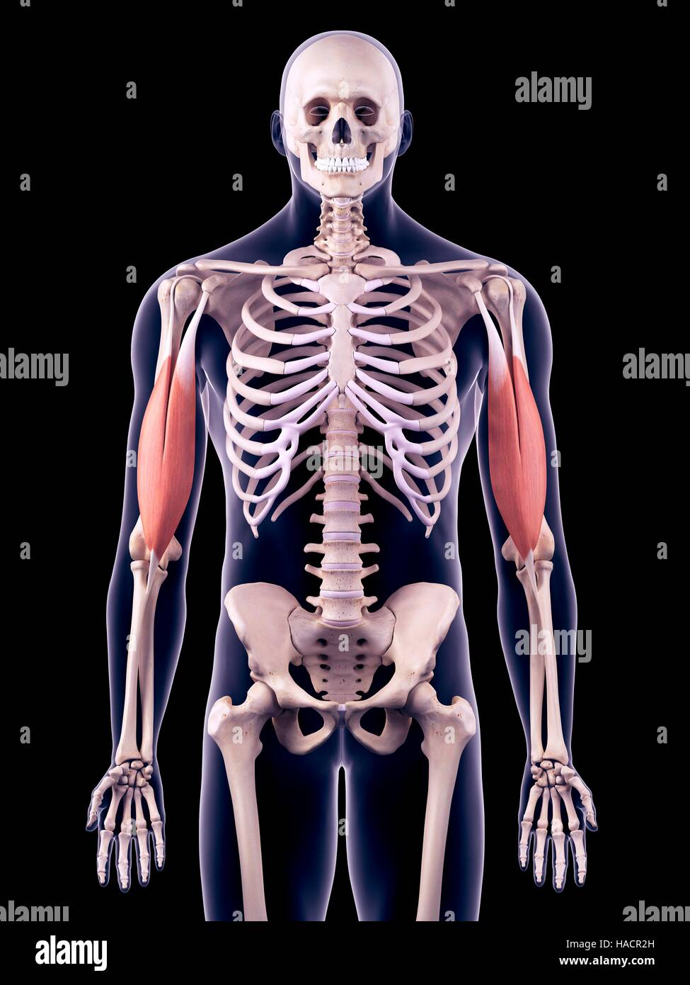 Leg Muscles Human Body Anatomy Stockfotos & Leg Muscles Human Body ...