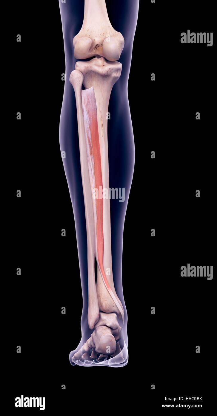 Illustration der Tibialis posterior-Muskel Stockfoto, Bild ...