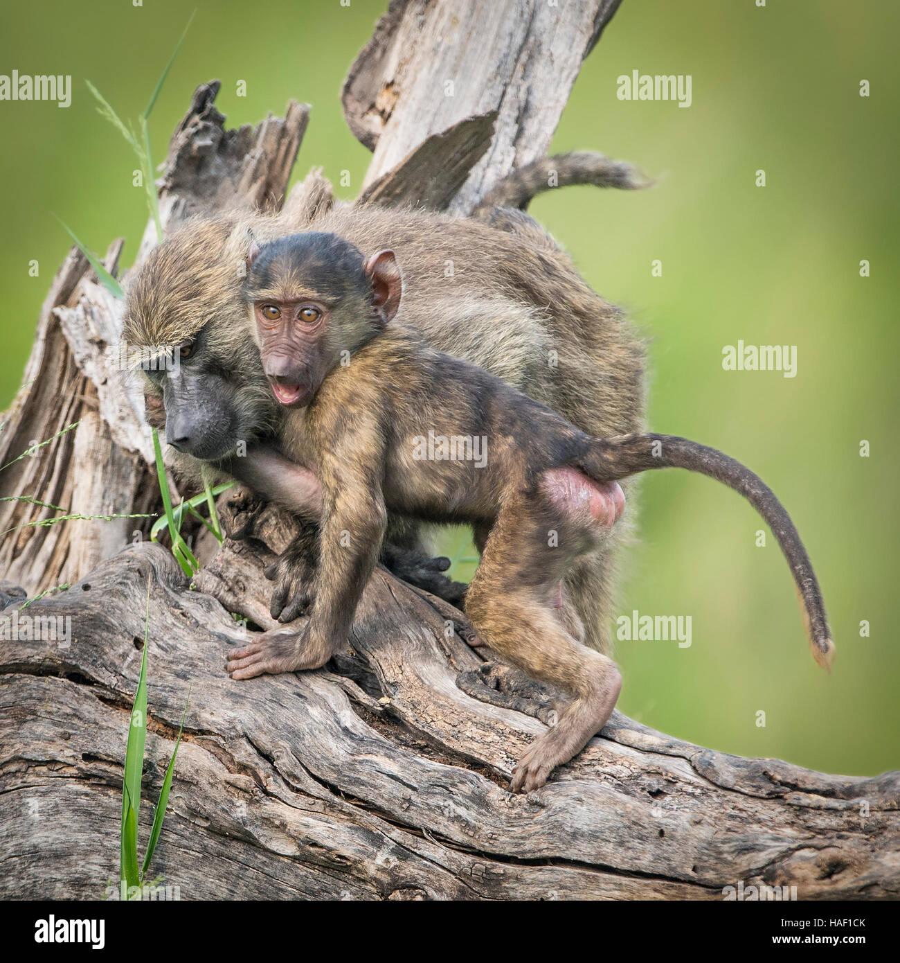 Olive Baboon, Mutter und Kind, kuscheln Stockbild