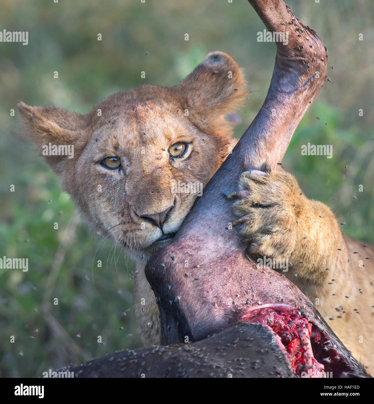 Löwenjunges streichelt Gnus Bein Stockbild