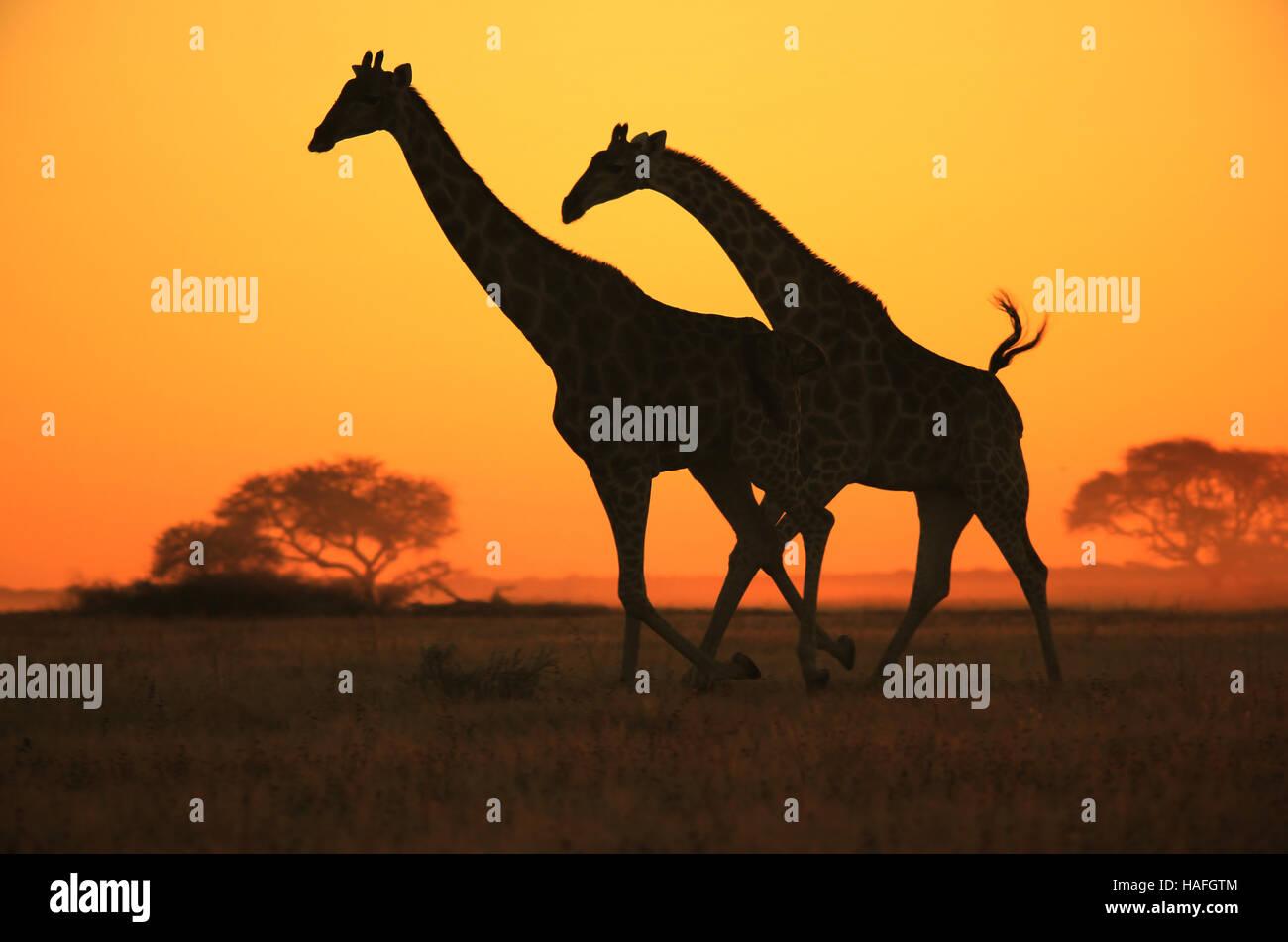 Giraffe Galopp - afrikanische Tierwelt Silhouette - Sonnenuntergang Wunder in der Natur Stockfoto