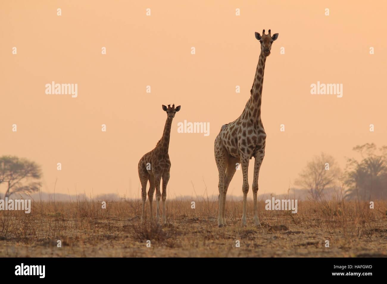 Giraffe - afrikanische Tierwelt-Hintergrund - Sunset Bliss Tierbabys und Mamas Tiere in freier Wildbahn Stockbild