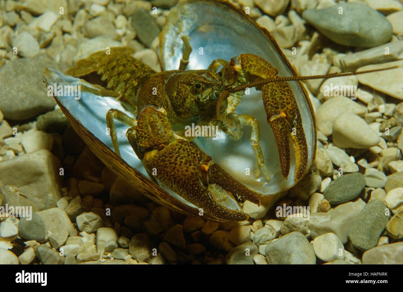 Anodonta Cygnea Stockfotos & Anodonta Cygnea Bilder - Alamy
