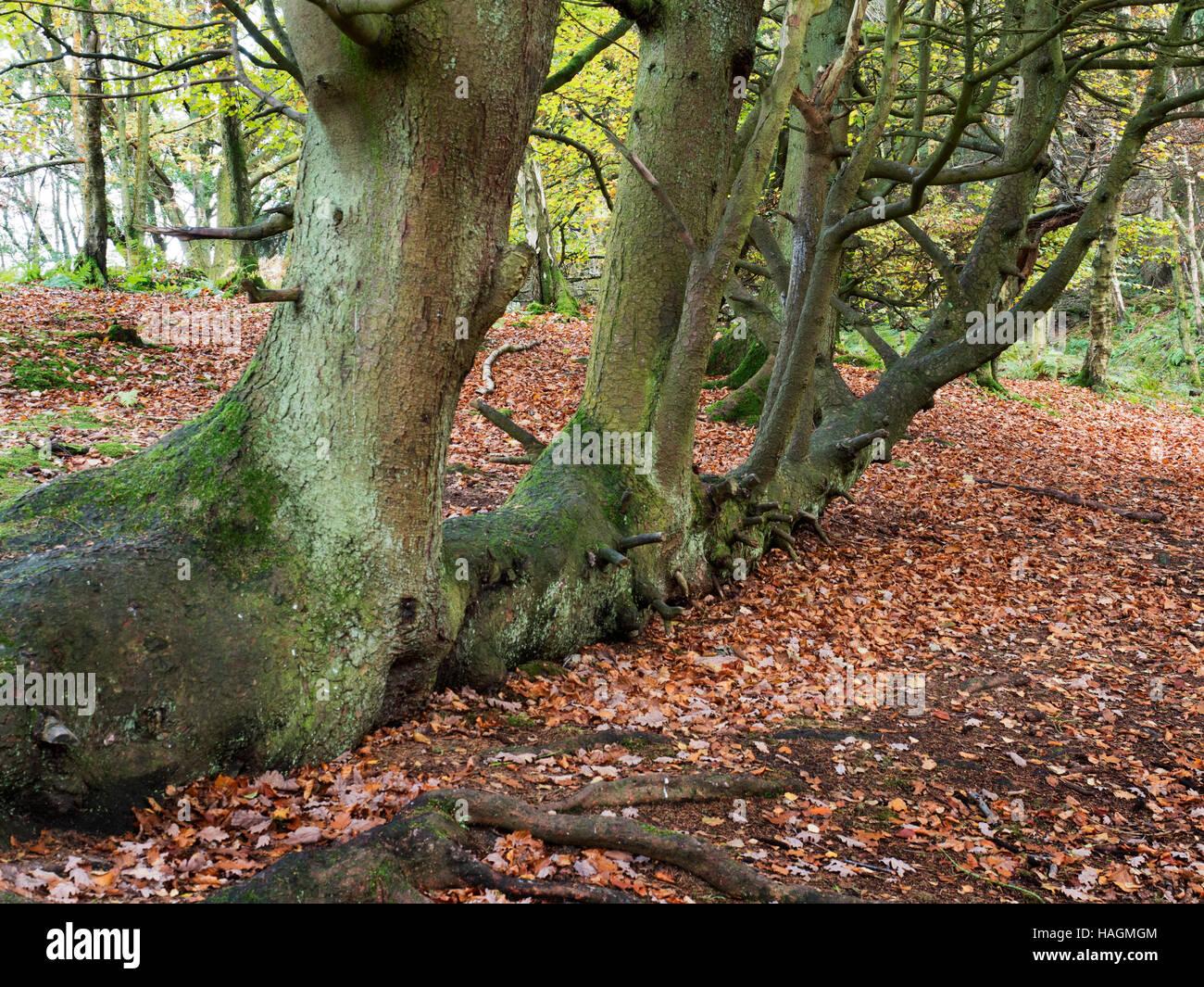 Baum wächst horizontal in Skrikes Holz Pateley Bridge North Yorkshire England gefallen Stockbild
