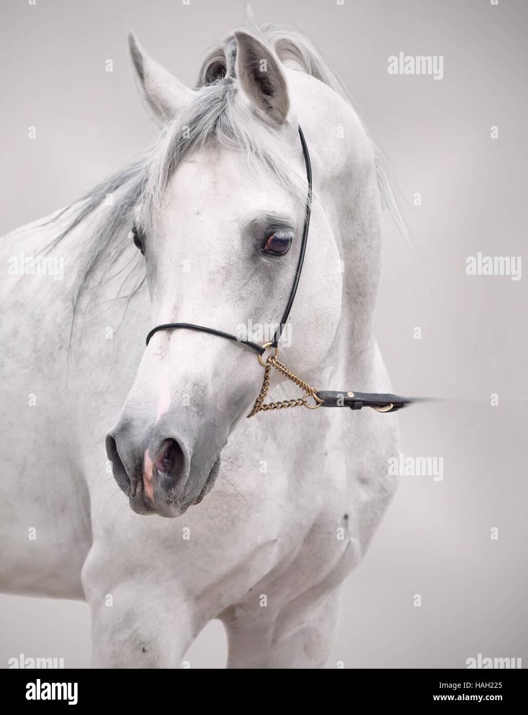 Porträt des weißen Araberhengst. auf grauem Hintergrund Stockbild