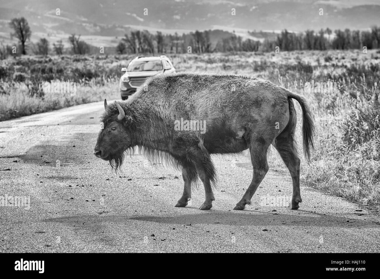 Schwarz   weiß Foto einer amerikanischen Bison Kreuzung Straße im  Grand-Teton-Nationalpark, 1cdeb9df32