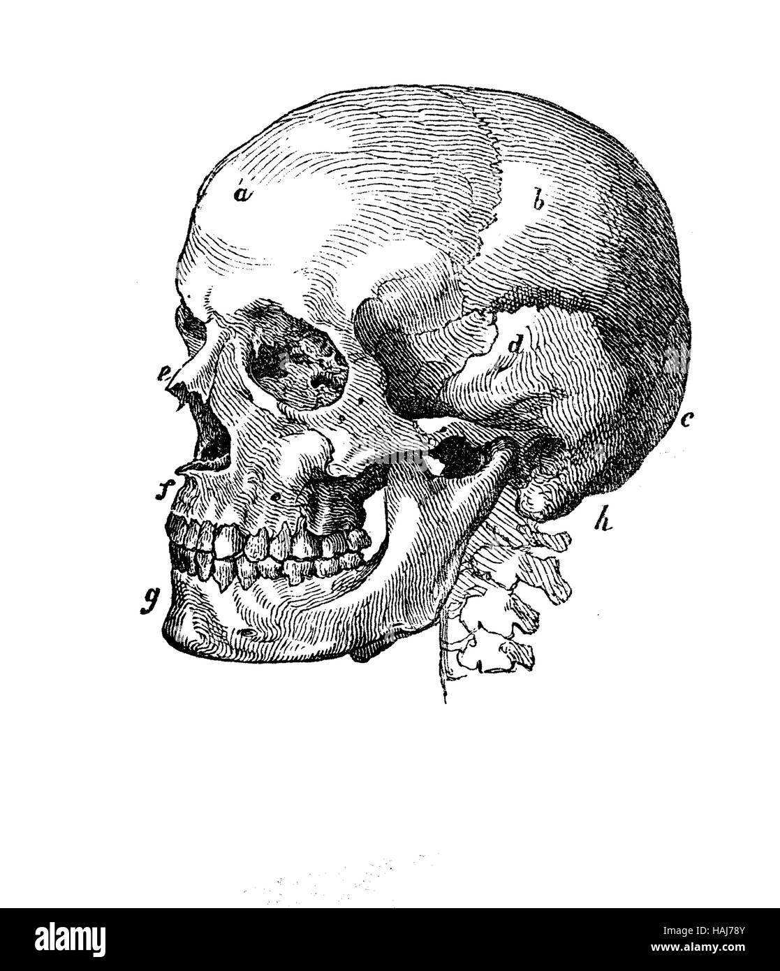 Menschlicher Schädel Profil Anatomie, Gravur XIX. Jh Stockfoto, Bild ...