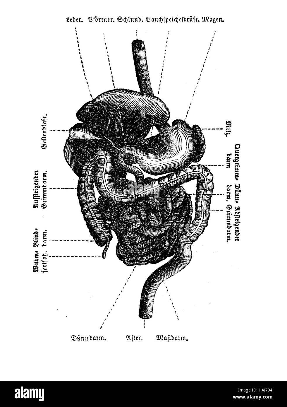 Anatomie, Unterleib Hohlraum Organe Tabelle, Gravur XIX. Jh ...