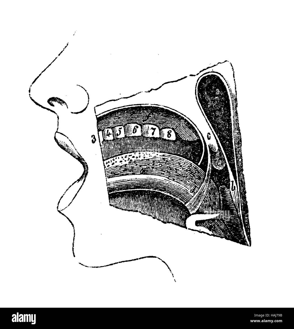 Anatomy Of Human Tongue Stockfotos & Anatomy Of Human Tongue Bilder ...