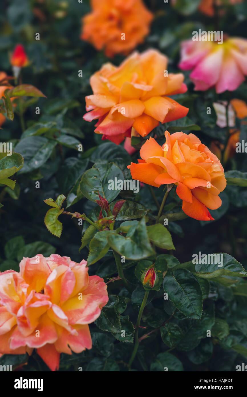 Rose im Garten wachsen Stockbild