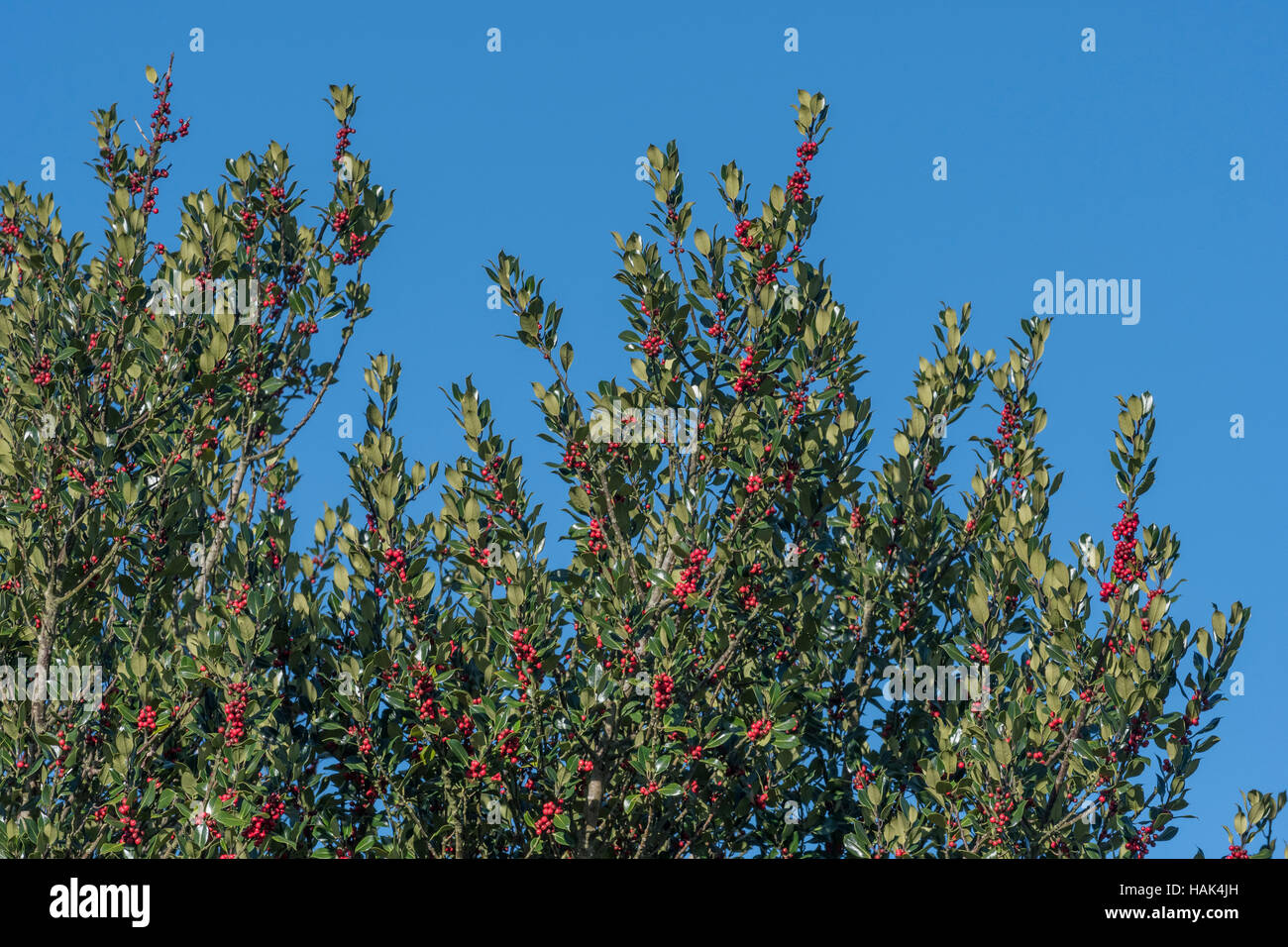 ilex aquifolium baum stockfotos ilex aquifolium baum. Black Bedroom Furniture Sets. Home Design Ideas