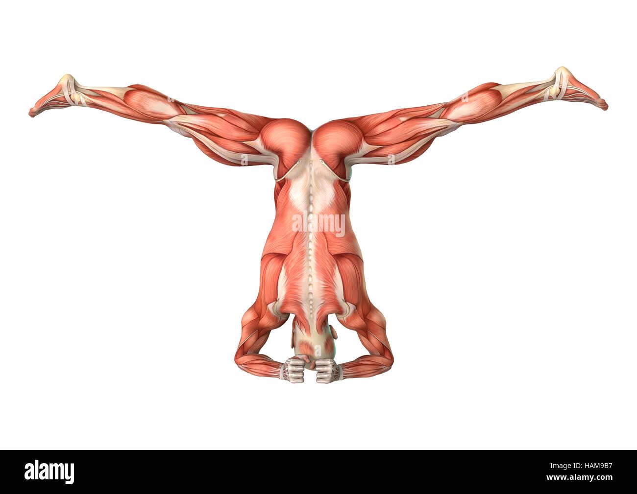 Ziemlich Menschliche Figur Anatomie Galerie - Anatomie Ideen ...