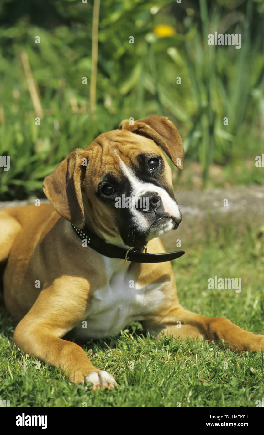 Boxer Hund Hund Stockfoto Bild 127161317 Alamy