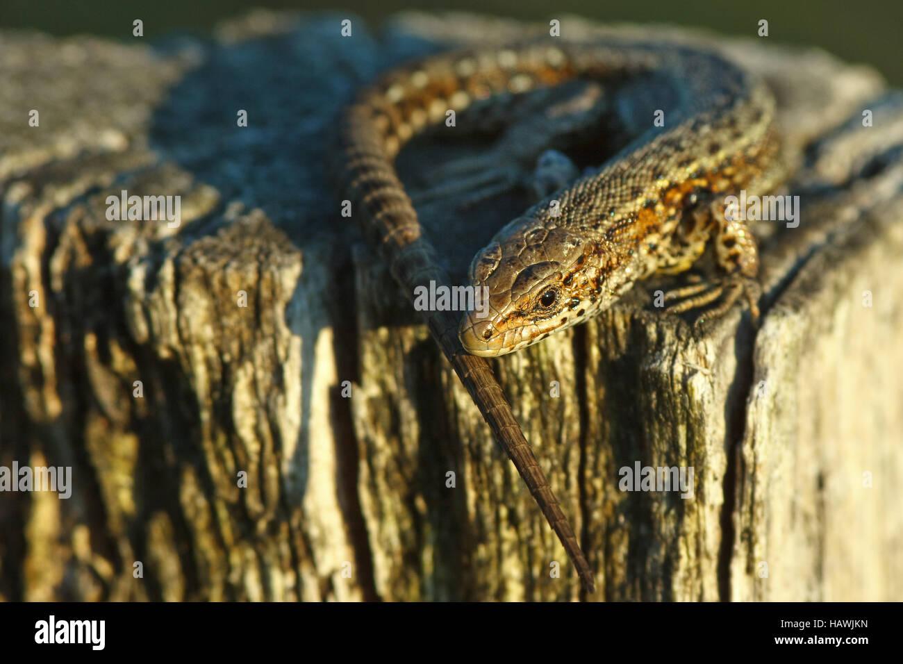 vivipare Eidechse - Zootoca vivipara Stockfoto