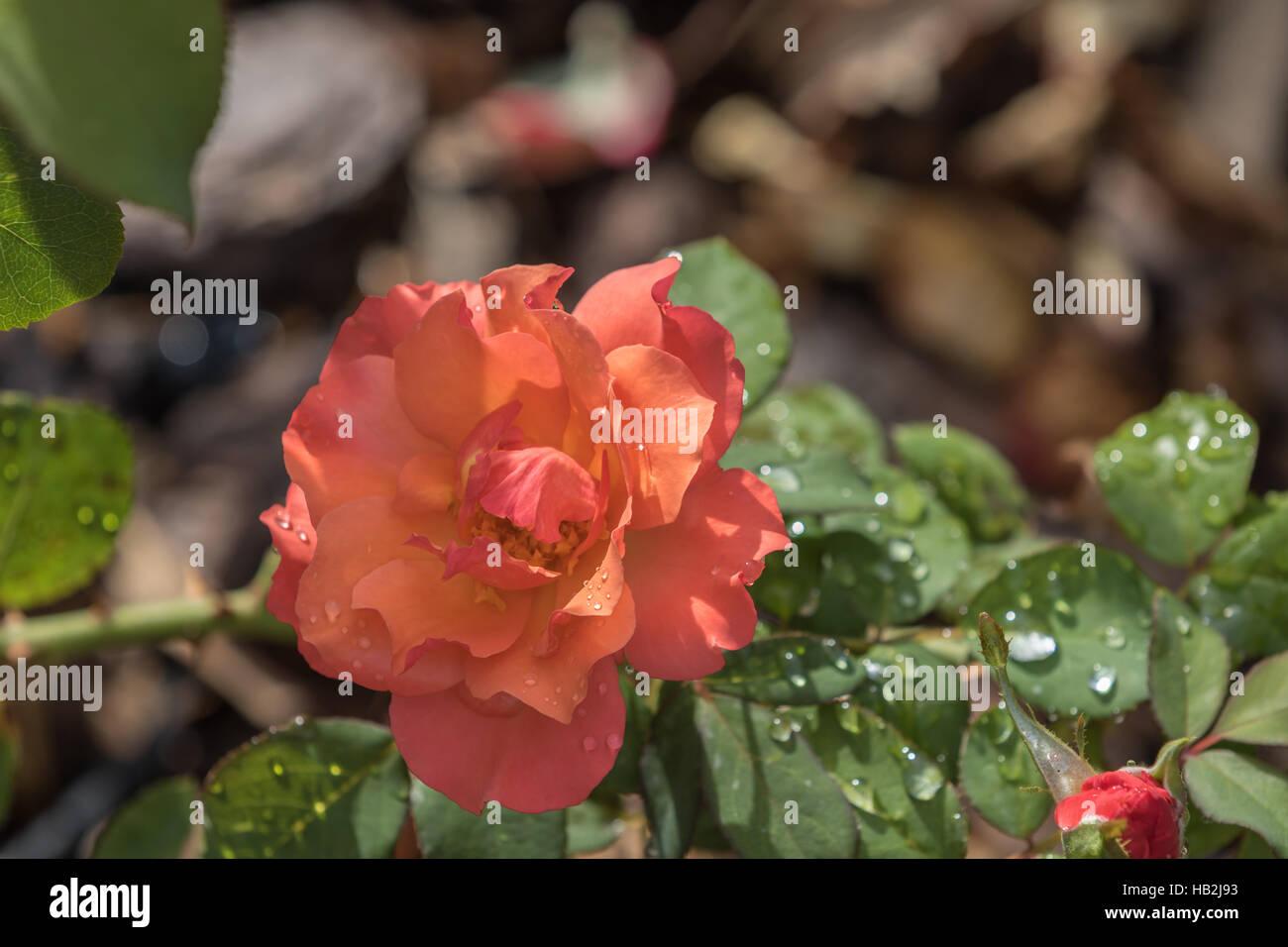 Eine Orange Rose, Winter Park, Orlando, Florida Stockfoto
