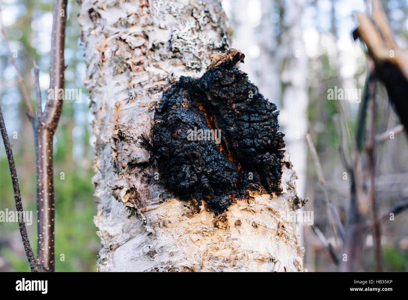 chaga pilz inonotus obliquus w chst auf einer papier birke in british columbia kanada. Black Bedroom Furniture Sets. Home Design Ideas