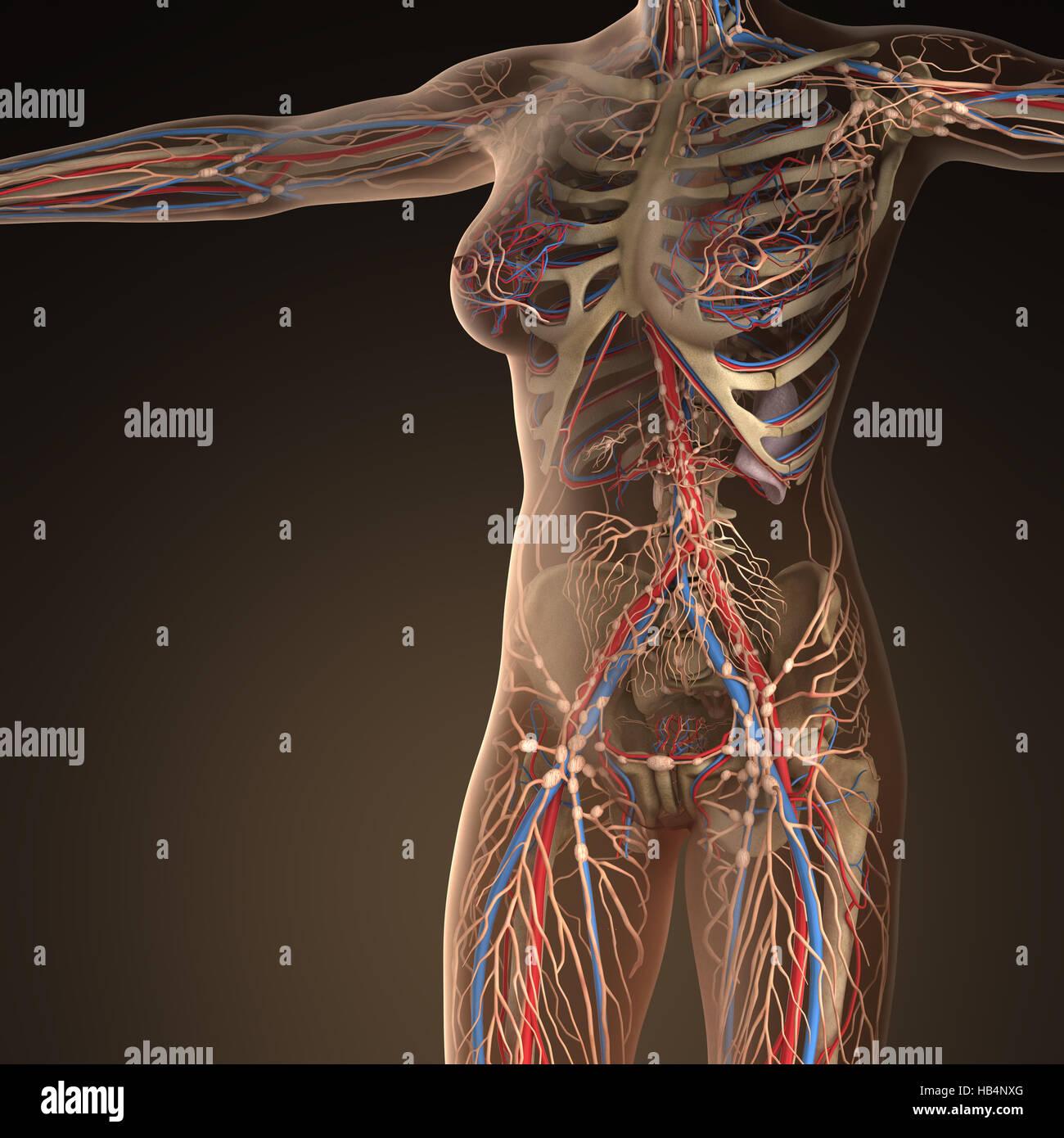 Menschlichen Kreislauf Herz-Kreislauf-System mit Knochen in ...