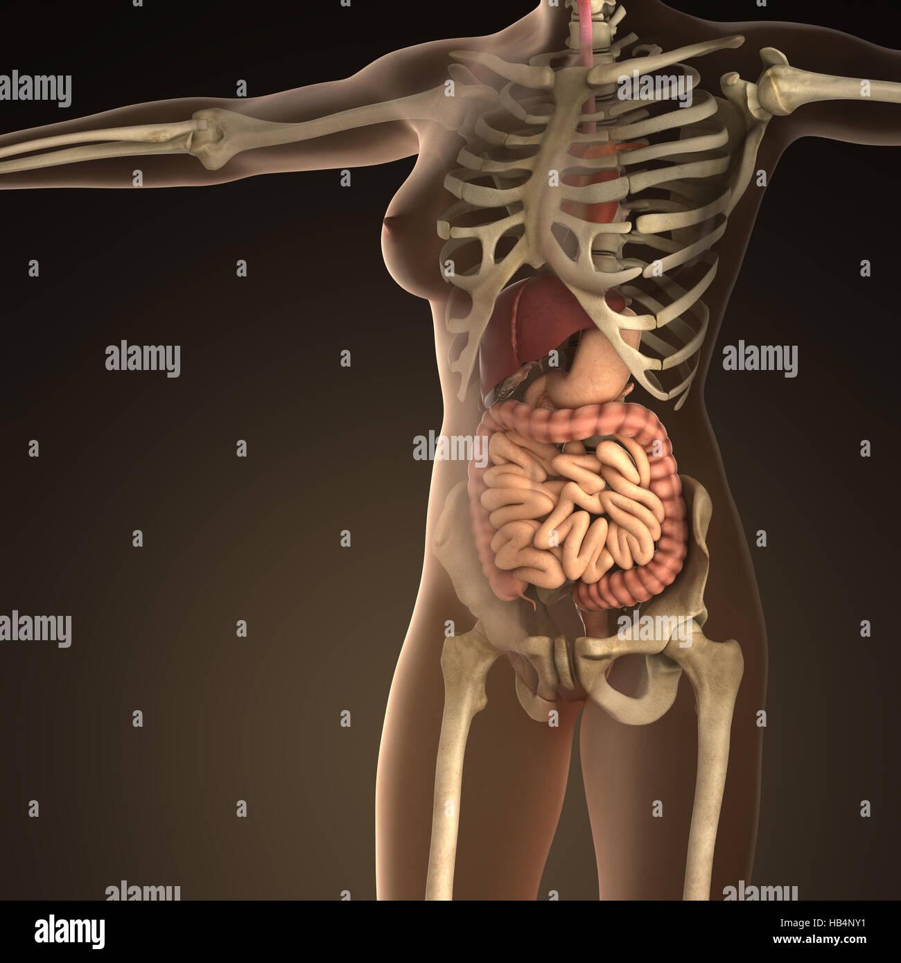Abdominal Organs Stockfotos & Abdominal Organs Bilder - Alamy