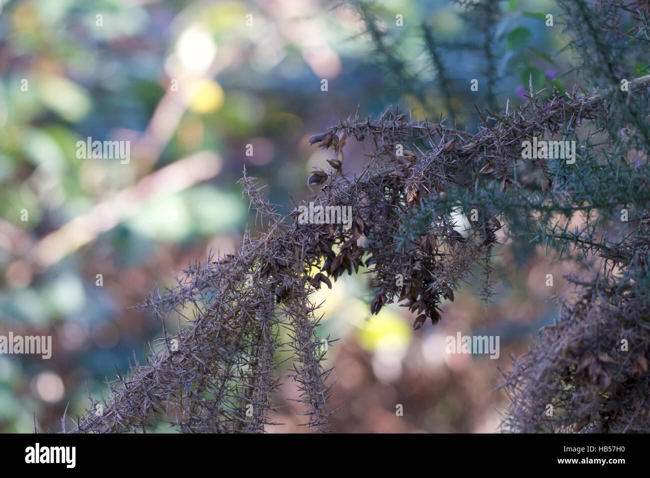Gut dotierten Dorn, mit vielen Stacheln, stehend Trocknen von live grüne unscharfen Hintergrund Stockbild