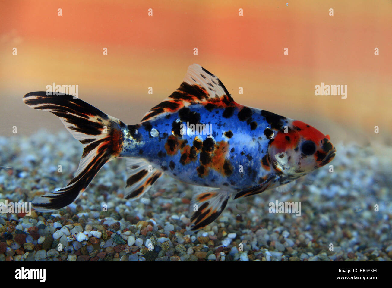 Shubunkin goldfisch stockfoto bild 127365272 alamy for Shubunkin teich