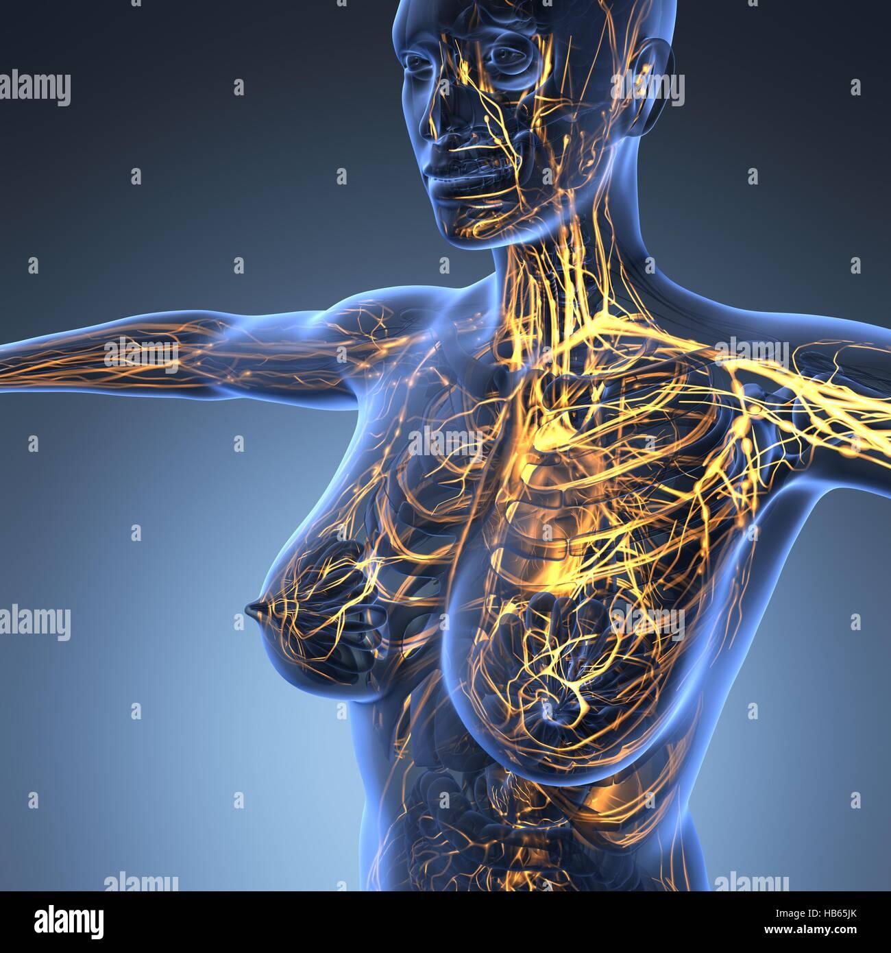 Heart X Ray Stockfotos & Heart X Ray Bilder - Alamy