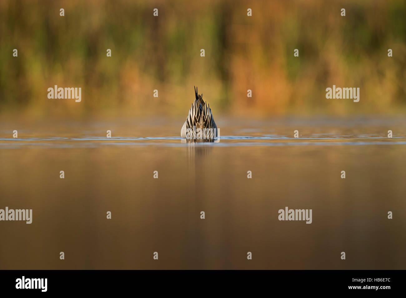 Nur das Ende des nördlichen Pintail ist sichtbar über dem Wasser, wie es reicht bis in die Untiefen, die Stockbild