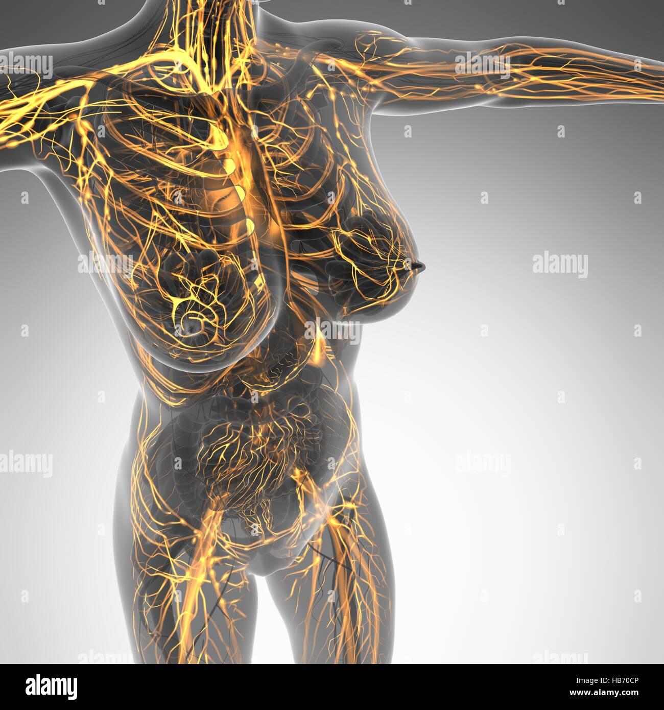 Atemberaubend Anatomie Und Physiologie Der Blutgefäße Fotos ...