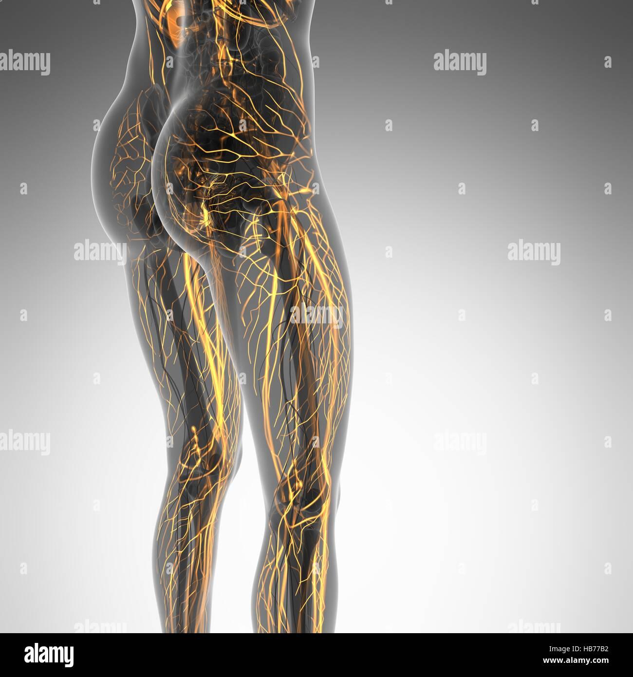 Fantastisch Menschliches Körperbild Mit Organen Galerie ...