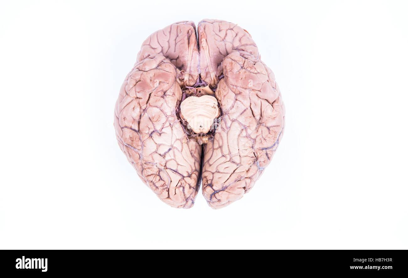 echte menschliche Gehirn isoliert auf weiss Stockfoto, Bild ...